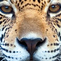 Couverture La prophétie du jaguar